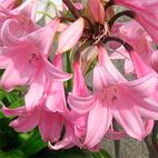 amarillis belladonna