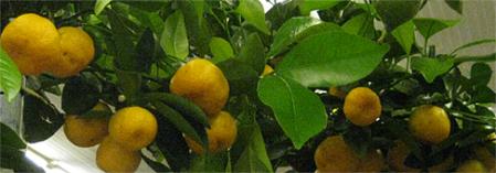 citrusa kociņš