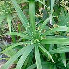 Cyperus diffusus, http://en.hortipedia.com