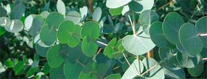eucaliptus gunii