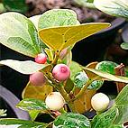 ficus_diversifolia