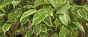 ficus golden king