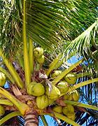 kokospalma
