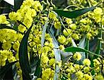 zelta mimoza