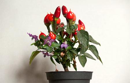 Capsicum, dekoratīvā paprika