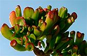 crassula argentae