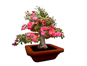 kamelija_bonsai