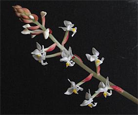 ludīcijas ziedi