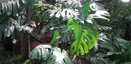 monstera LU Botāniskajā dārzā