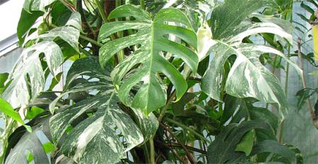 monstera deliciosa 'variegata'