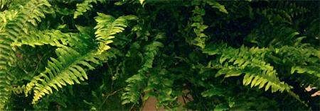 nefrolēpe