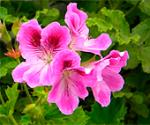 Pelargonium_cucullatum