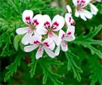 Pelargonium_denticulatum