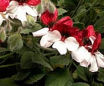 Pelargonium_Splendide
