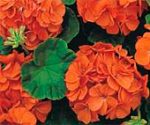 Pelargonium_tango_orange