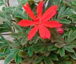 pelargonium_Urchin