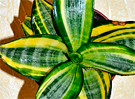 Sansevieria trifasciata hahnii Favorite