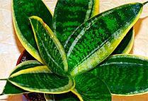 Sansevieria Trifasciata Hahnii Marginata