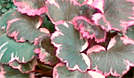 Saxifera sermantosa tricolor