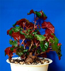 Begonia-dregei