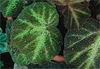 Begonia-solimutata