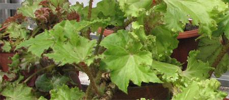 begonia manicata 'crispa'