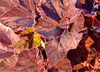 Begonia_Peter-Sharp