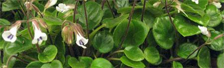 saintpaulia chirita timiana