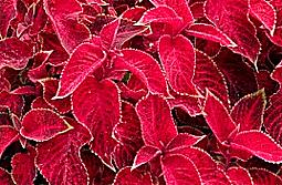 Coleus blumei 'Wizard Velvet Red