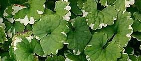 sētložņas kultivēta forma