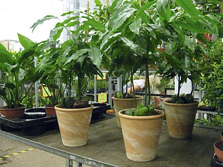 castanospermum australis