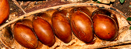 Castanospermum