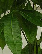 pahira (pachira)