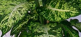 diffenbachia parachute