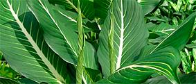 diffenbachia sterling