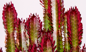 Euphorbia-trigona-Royal-Red