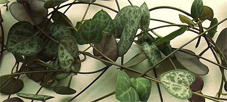 Ceropēgija (ceropegia woodii)