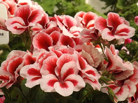 Lielziedu pelargonijas šķirne 'candy flowers strawberry cream'